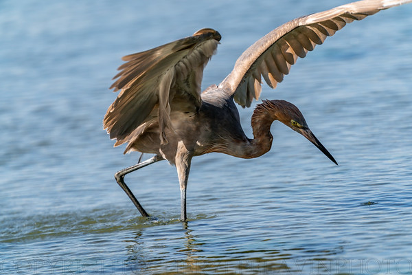 Reddish Egret Wing-flicking and Open-wing Foraging Behavior, 4