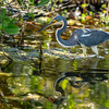 Tricolored Heron  Foraging 2