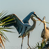 Great Blue Heron Giving Nest Material to Mate