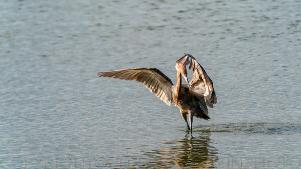 Reddish Egret Wing-flicking and Open-wing Foraging Behavior, 1