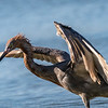 Reddish Egret Wing-flicking and Open-wing Foraging Behavior, 2
