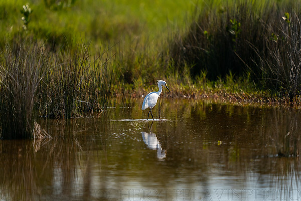 Snowy Egret in Wetlands