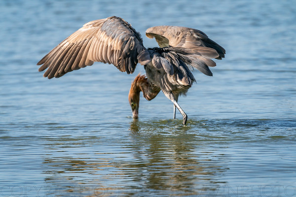 Reddish Egret Wing-flicking and Open-wing Foraging Behavior, 6