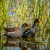 Two Common Gallinules