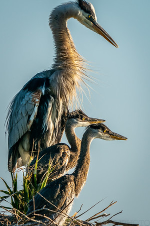 Great Blue Heron Chicks and Parent Watching