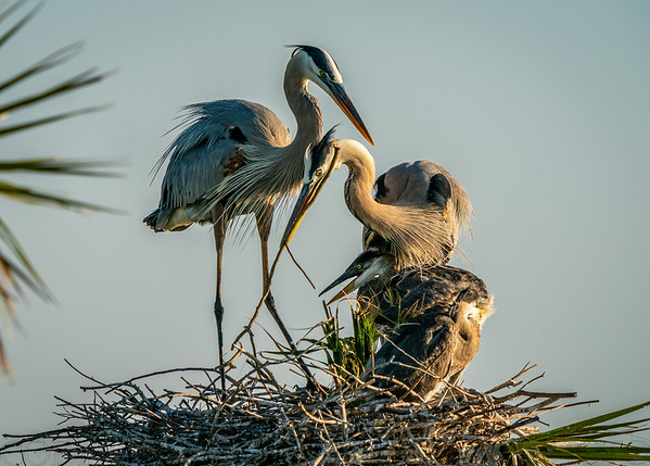 Great Blue Heron Placing Newly Acquired Nesting Material