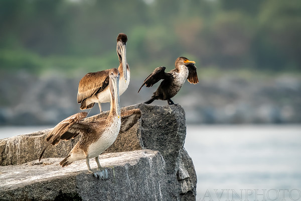 Immature Brown Pelicans and Double-Crested Cormorant