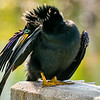 Anhinga Preening Long Flight Feather