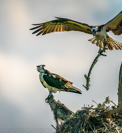 Osprey Mate with Branch for Nest