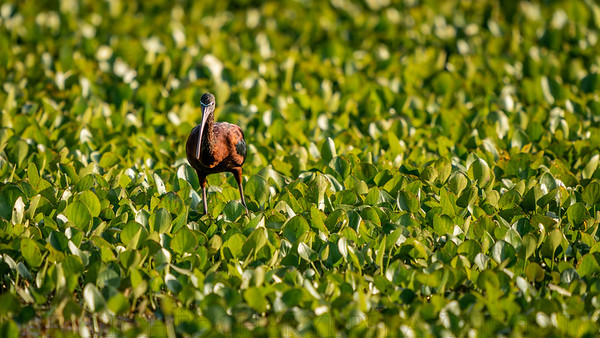 Glossy Ibis in Water Hyacinth
