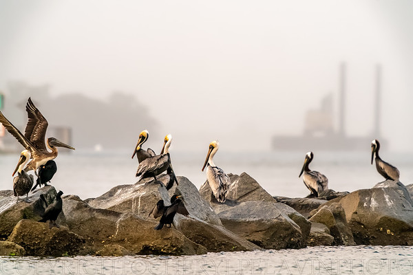Brown Pelicans & Double Crested-Cormorants on Breakers 1