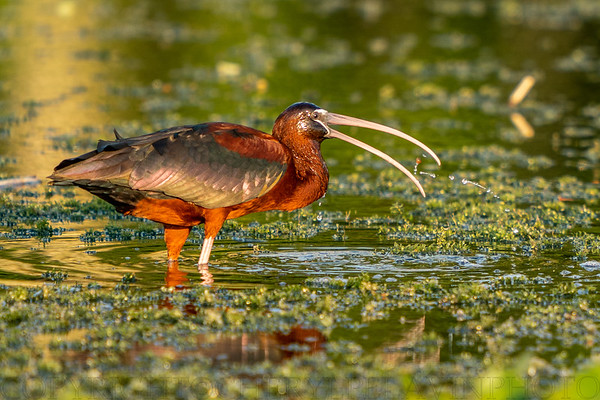 Glossy Ibis with Snail