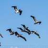 Squadron of Brown Pelicans 2
