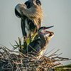 Great Blue Heron Chicks and Parent on Nest