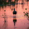 Glossy Ibis in Wetland at Sunset