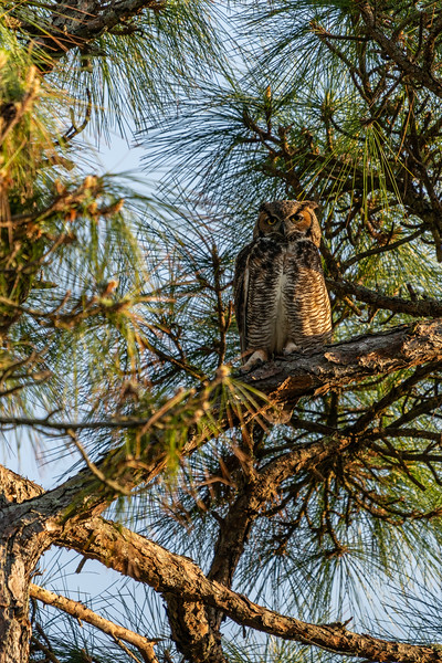Mother, Great Horned Owl