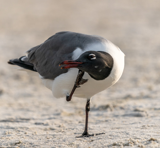 Laughing Gull Scratching