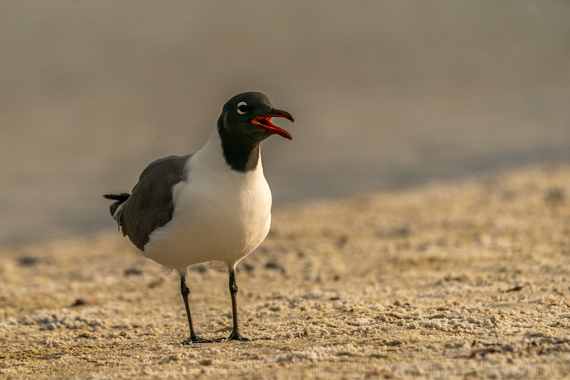 Laughing Gull Ritual 10