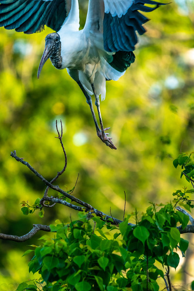 Woodstork Take Off 4