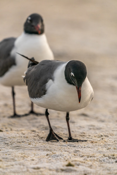 Laughing Gull Ritual