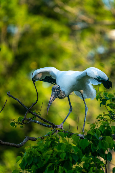 Woodstork Take Off 2
