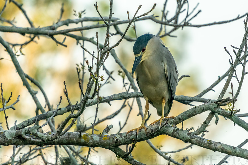 NIght Heron Watching