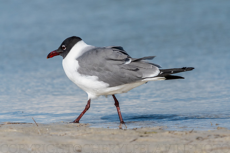 Laughing Gull on Patrol