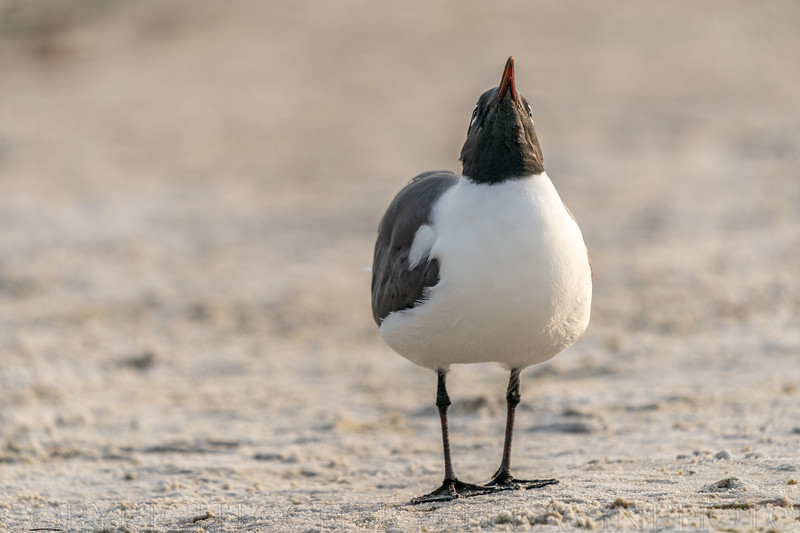 Laughing Gull Head up