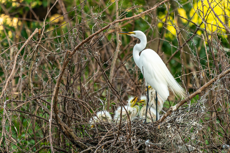 Great Egret at the Nest