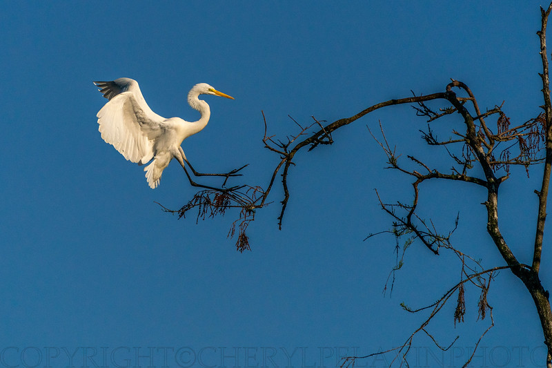 Great Egret Alights