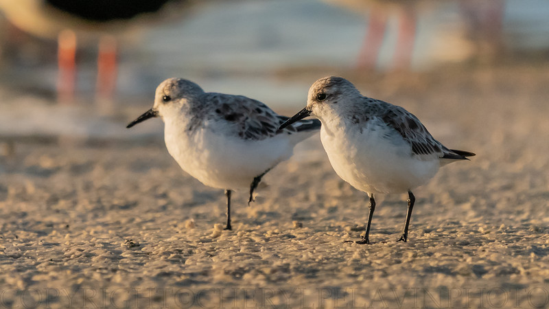 Sanderling Sandpipers