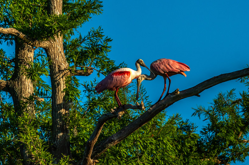 Roseate Spoonbills in a Tree