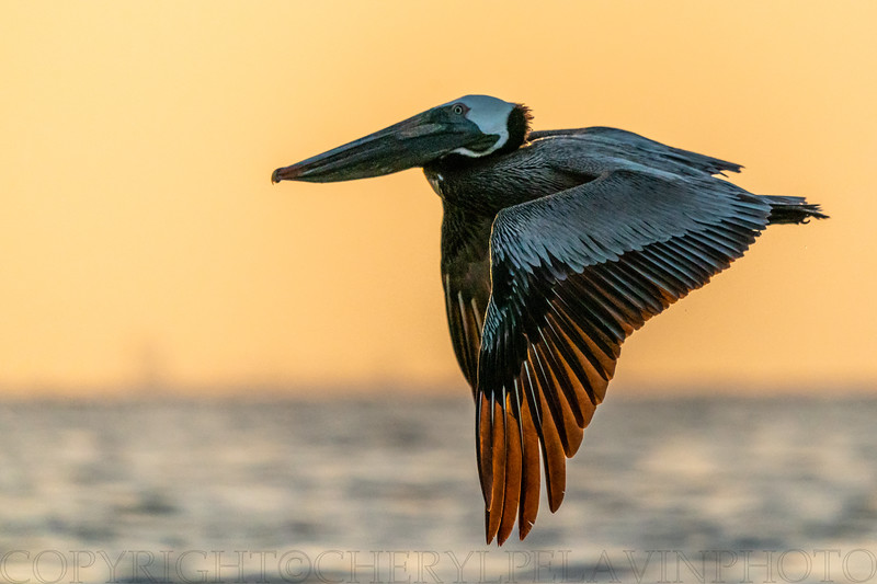 Brown Pelican, Down Stroke