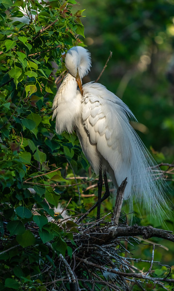 Great Egret at Nest Preening