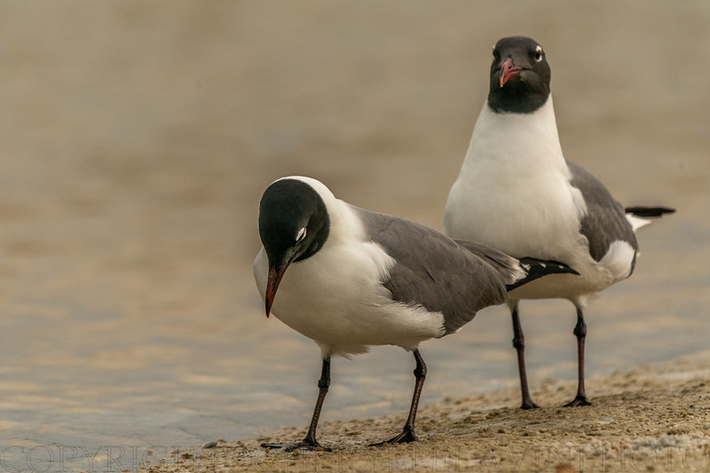 Laughing Gull Ritual 8
