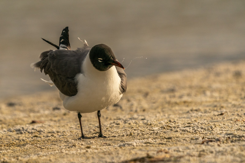 Laughing Gull Ritual 9
