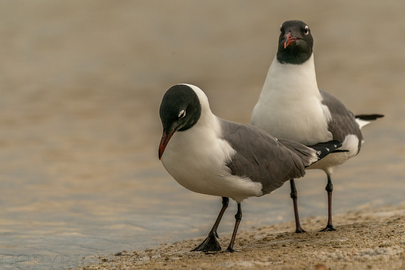 Laughing Gull Ritual 7