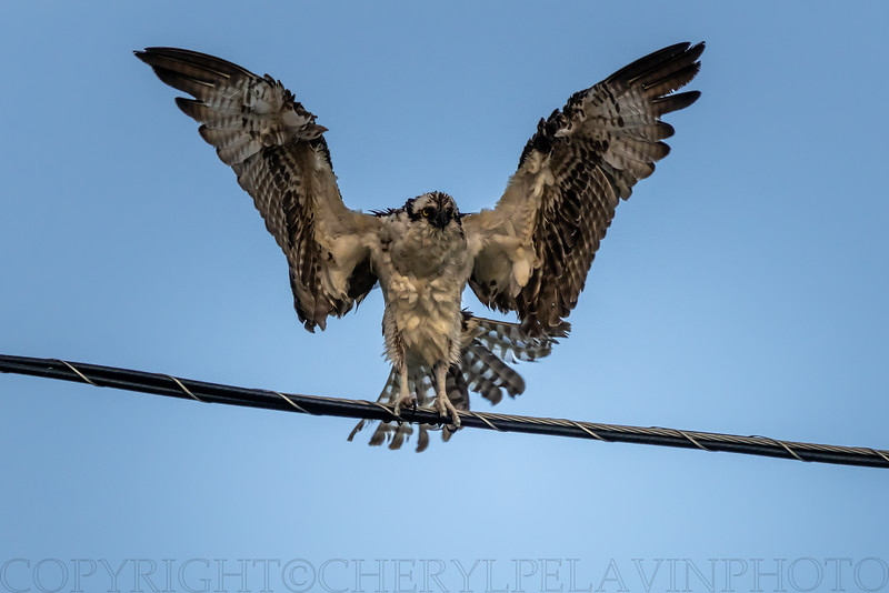 Osprey Drying His Wings