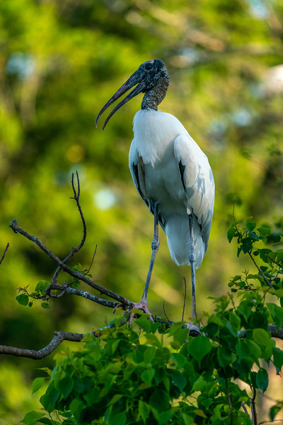 Woodstork Take Off 1