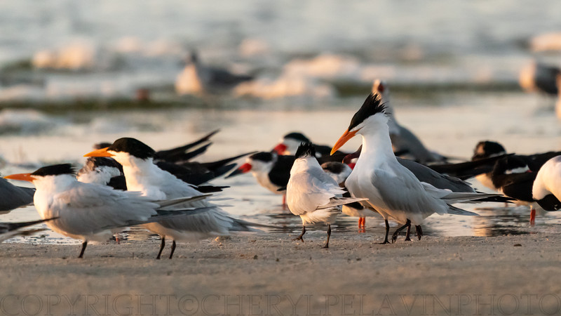 Royal Tern Courtship