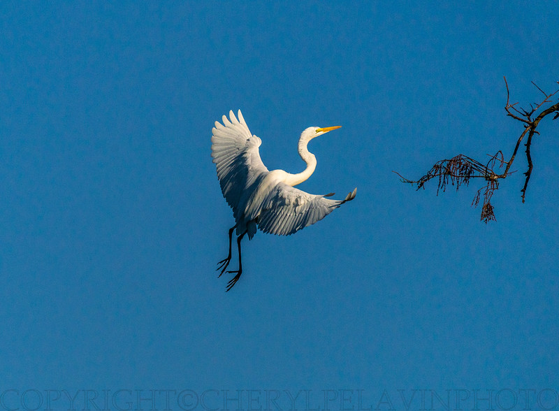 Great Egret and Branch