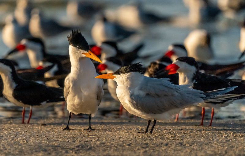 Royal Tern in Love