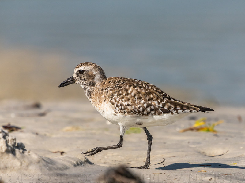 Sanderling on the Beach