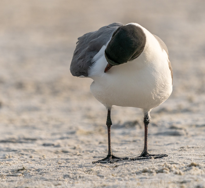 Laughing Gull Preening