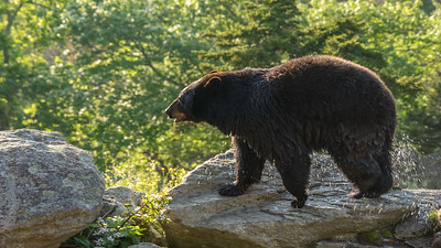 Black Bear After a  Dip in the Pool