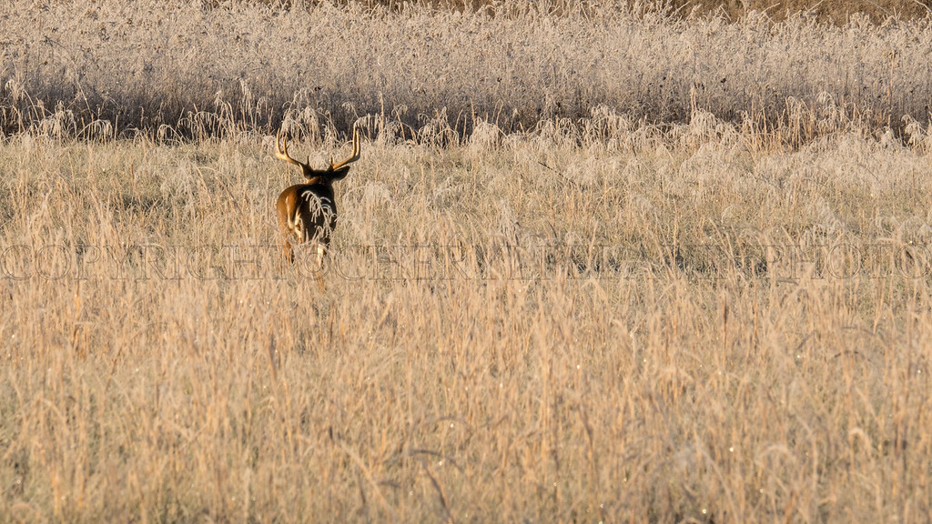Lone Buck in the Tall Frosted Grass