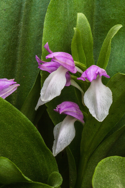 Showy Orchid