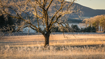 Cades Cove Tree with Sun and Hoar Frost