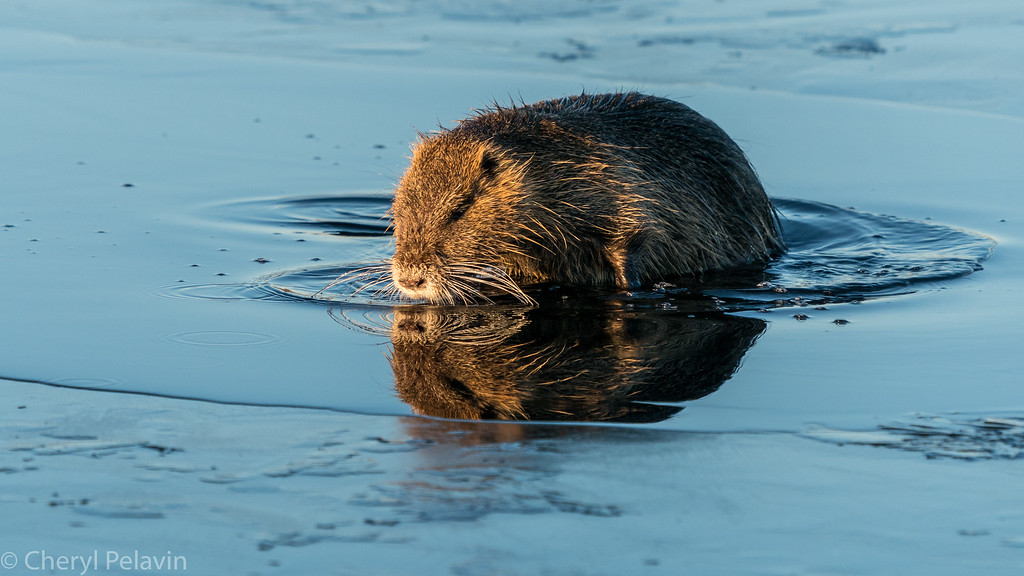 Muskrat Bath: Whoops the Ice Melted