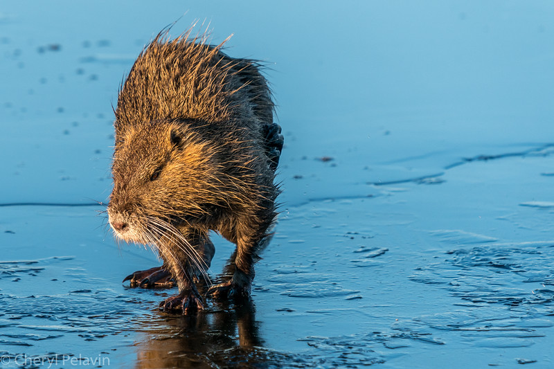 Muskrat Bath, Another Little Itch